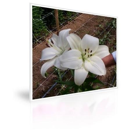 Caja 300 Bulbos De Lilium Blanco
