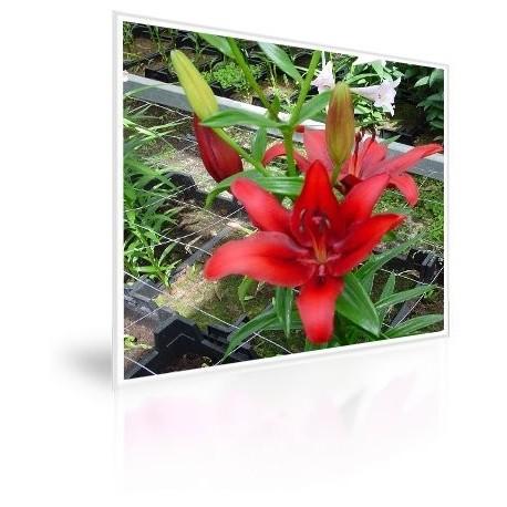 Caja 300 Bulbos De Lilium Rojo