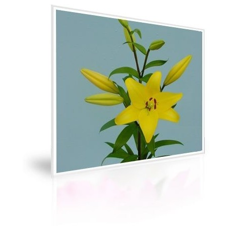 Caja 300 Bulbos De Lilium Amarillo