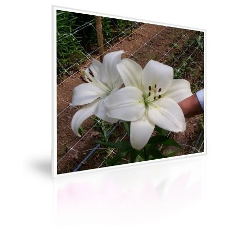 Caja 200 Bulbos De Lilium Blanco