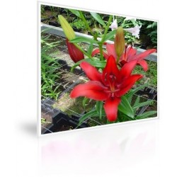 Caja 250 Bulbos De Lilium Rojo